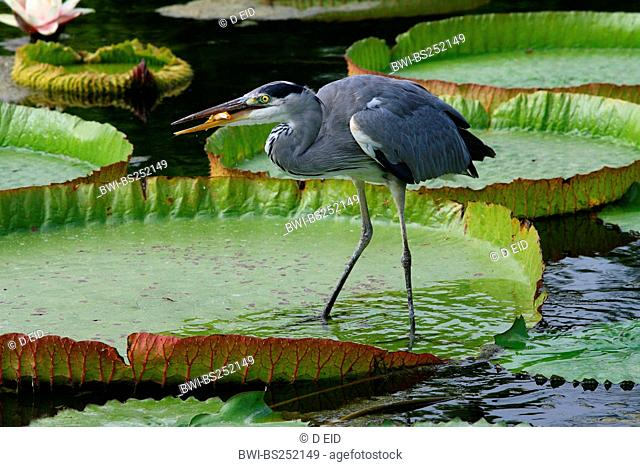 grey heron Ardea cinerea, szanding on a water lily catching goldfishes from a garden pond, Germany