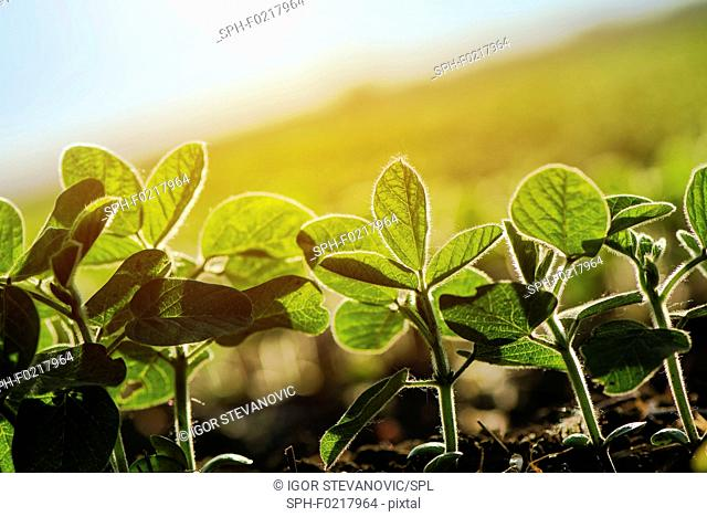 Young soybean plants