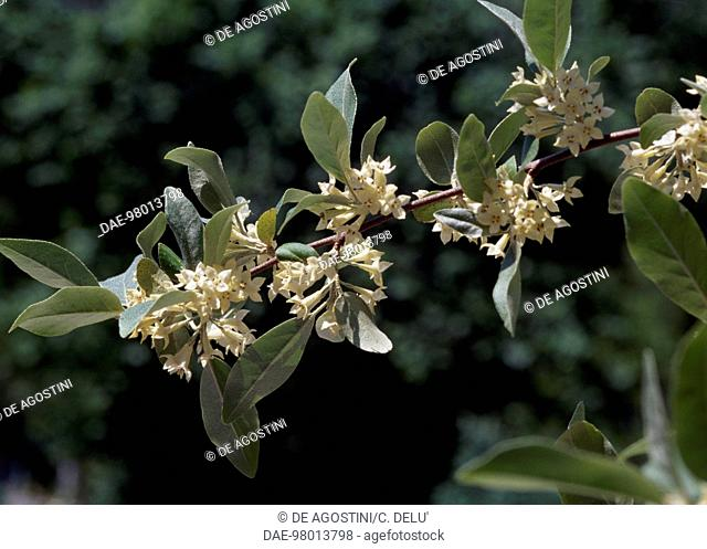 Autumn olive flowers (Elaeagnus umbellata), Elaeagnaceae