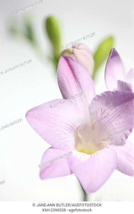 gentle mauve freesia stem as sweet as its fragrance