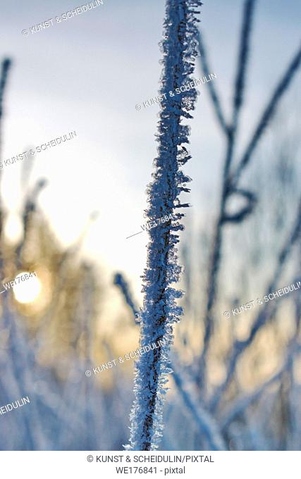 Delicate frost crystals growing on grass stalks are illuminated by the golden light of the low winter sun on a cold day in northern Sweden
