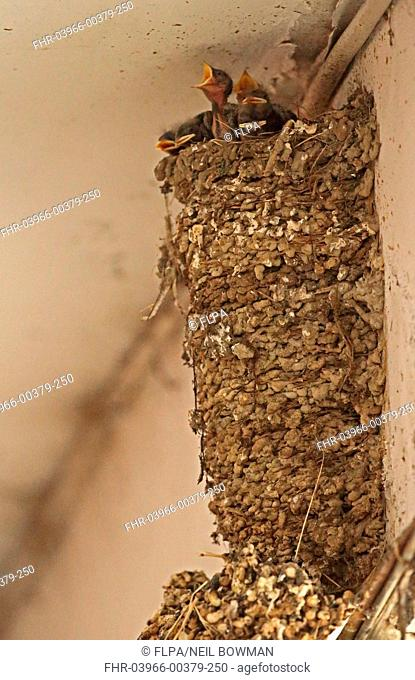 Barn Swallow (Hirundo rustica gutturalis) chicks at nest in shopping arcade, nest has been continually occupied for twenty years, Taipei City, Taiwan, April