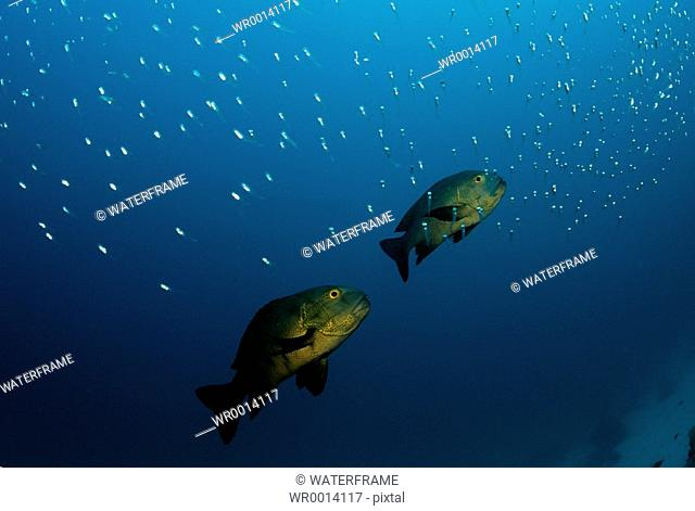 Black Snapper and Pygmy Sweepers, Macolor niger, Indian Ocean, Maldives Island
