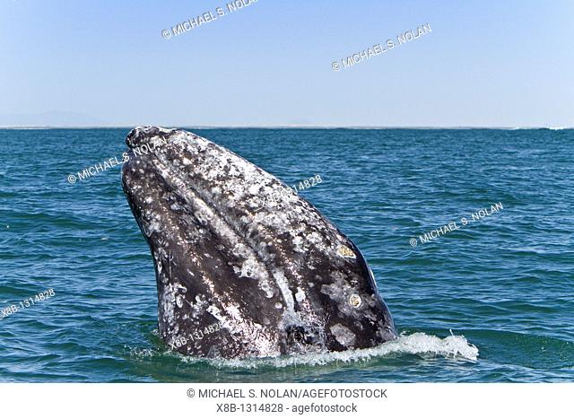 Adult California gray whale Eschrichtius robustus spy-hopping in San Ignacio Lagoon on the Pacific side of the Baja Peninsula, Baja California Sur