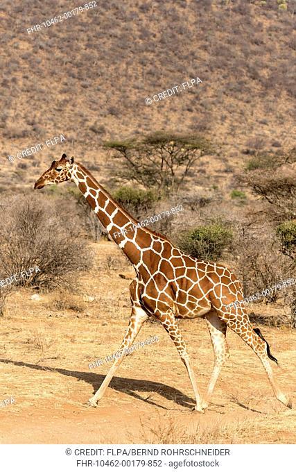 Reticulated Giraffe (Giraffa camelopardalis reticulata) adult, walking in semi-desert dry savannah, Samburu National Reserve, Kenya, August