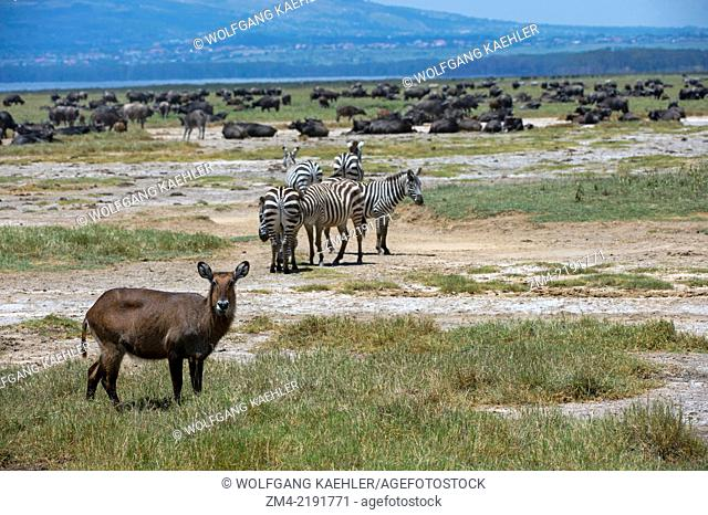 Waterbuck (Kobus ellipsiprymnus), Burchell?s zebras (Equus quagga) and Cape buffalos (Syncerus caffer) at Lake Nakuru National Park in the Great Rift Valley in...