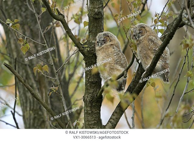 Tawny Owl / Owls ( Strix aluco ), young fledglings, moulting adolescents, perched high up in a tree, sleeping over day, cute and funny, wildlife, Europe