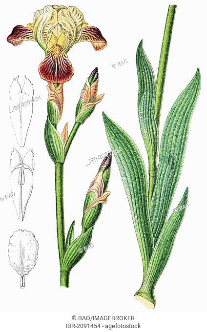 Brown-flowered iris (Iris squalens), medicinal plant, crop plant, chromolithography, 1876