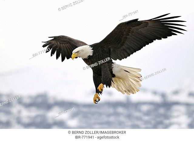 Bald Eagle (Haliaeetus leucocephalus) landing, Kenai Peninsula, Alaska, USA
