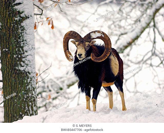 Mouflon (Ovis musimon, Ovis gmelini musimon, Ovis orientalis musimon), mouflon ram in a snow-covered winter forest, Germany, Saxony