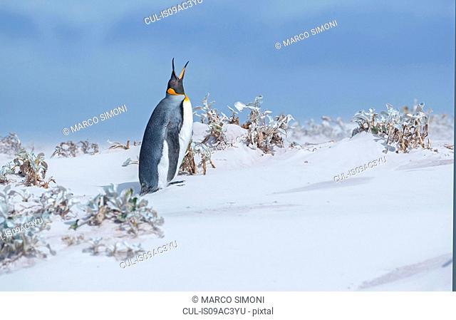 King penguin (Aptenodytes patagonicus) emitting sound, Falkland Islands