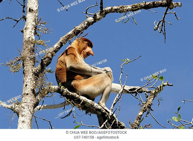 Probosis of Bako National Park