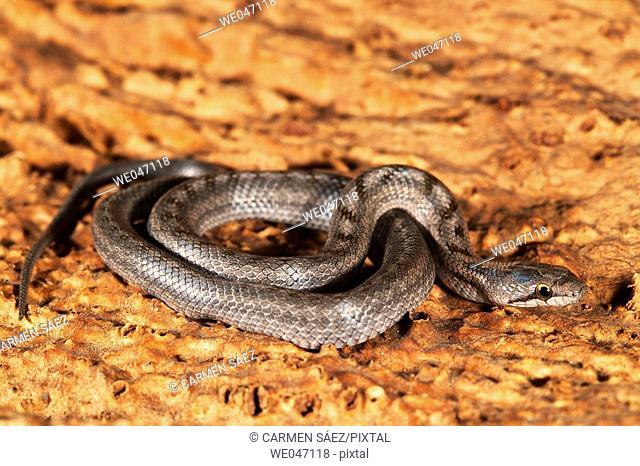 Ladder Snake (Elaphe scalaris), young