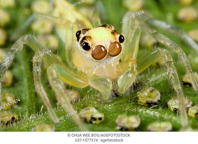 Jumping spider from Kampung Skudup, Sarawak, Malaysia