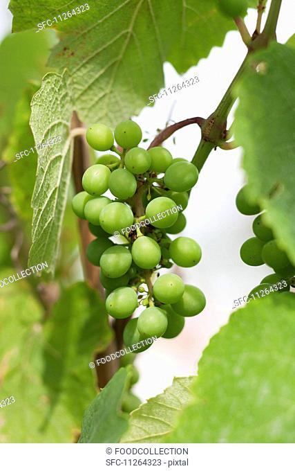 Unripe grapes on the vine