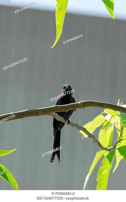 Small one female Black Drongo bird perched on a tree in the garden