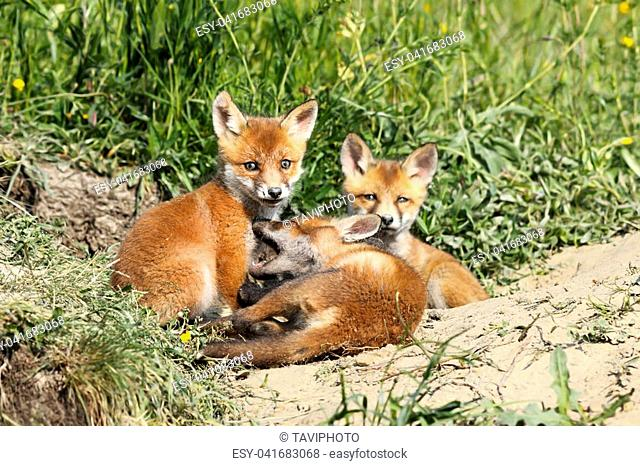 family of young red foxes ( Vulpes ) playing near the burrow
