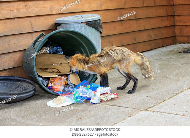 United States, Minnesota, Red Fox Vulpes vulpes, adult looking in a waste bin