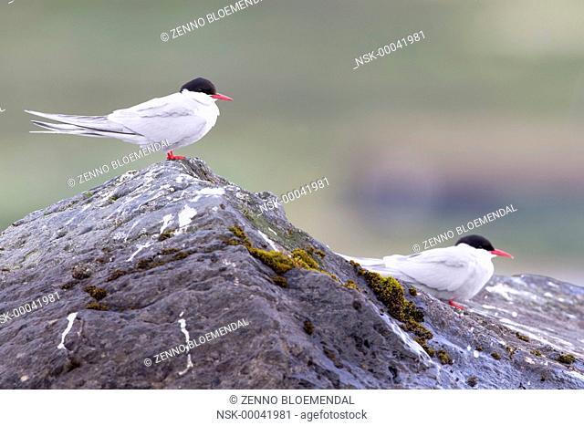 Arctic Terns (Sterna paradisaea) pair sitting on rock, Norway, Sor Trondelag