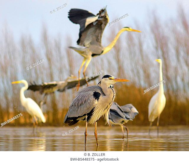 grey heron (Ardea cinerea), standing in a fish pond, great egrets and grey herons in the background, Hungary, Kiskunsag National Park