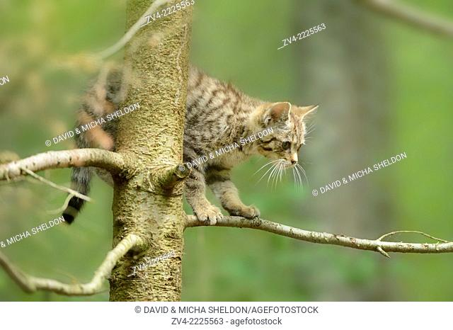 Close-up of a European wildcat (Felis silvestris silvestris) in a forest in early summer