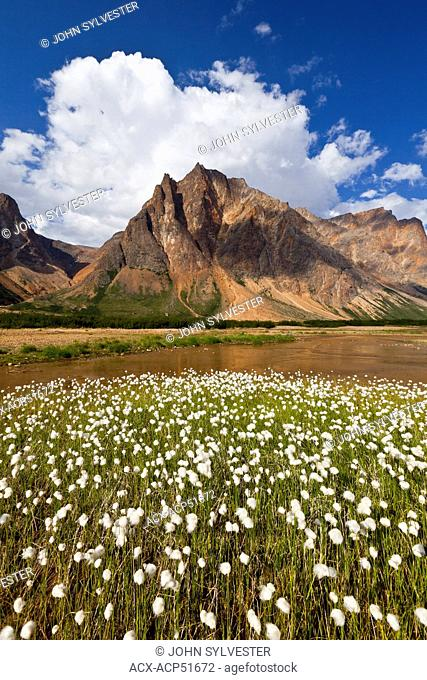 cotton grass grows in wetlands of the north arm Saglek Bay, Torngat Mountains National Park, Labrador, Canada