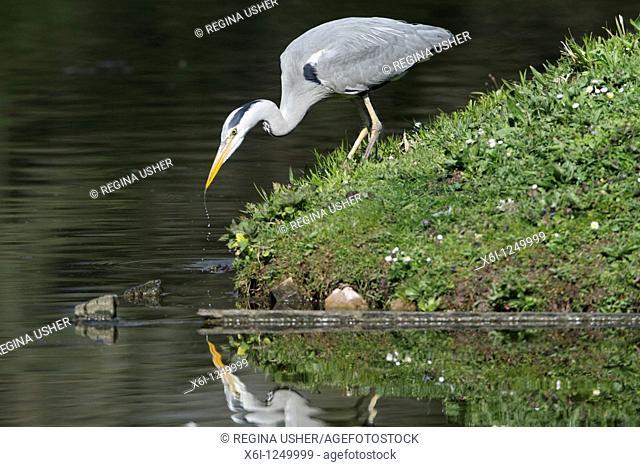 Grey Heron Ardea cinerea, at side of lake stalking fish, Germany