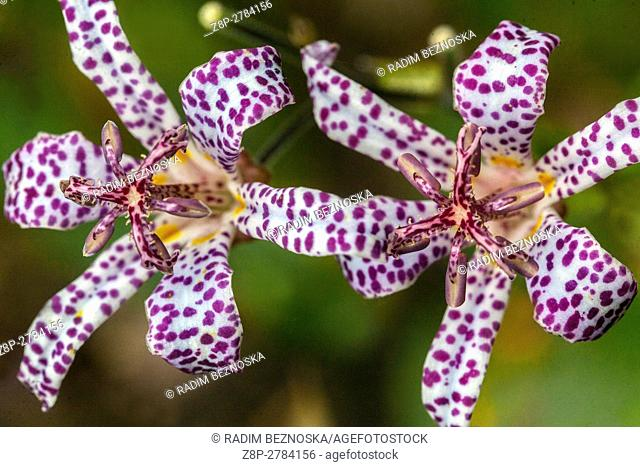 Tricyrtis hirta, the toad lily, or hairy toad lily