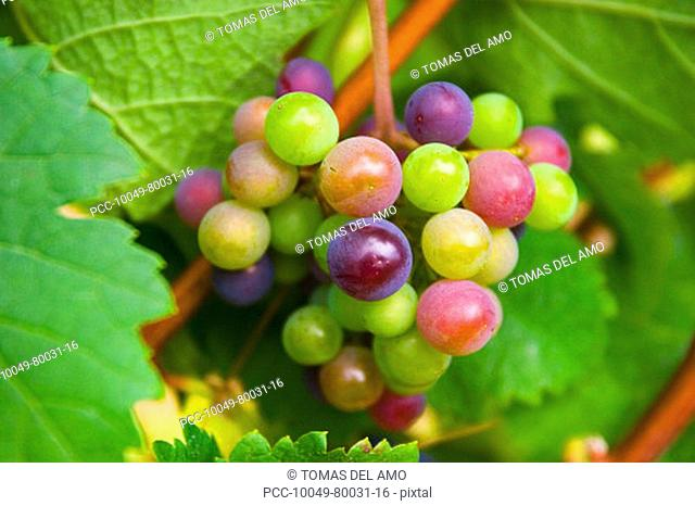 Close-up of colorful green, red and purple grapes growing on the vine