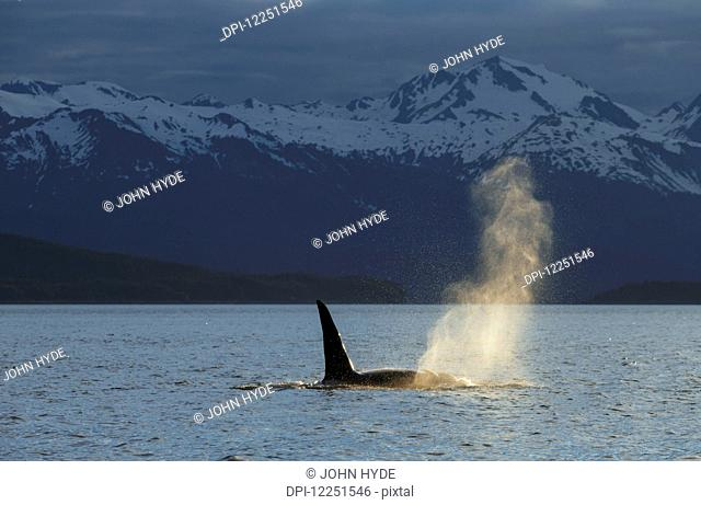 An Orca Whale (Orcinus orca), a male indicated by the height of its dorsal fin, surfaces in Lynn Canal on a summer evening, Inside Passage; Alaska