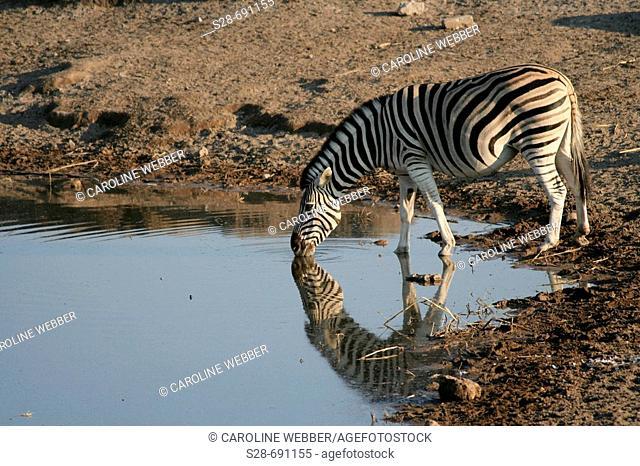 Zebra at waterhole, Etosha National Park. Namibia