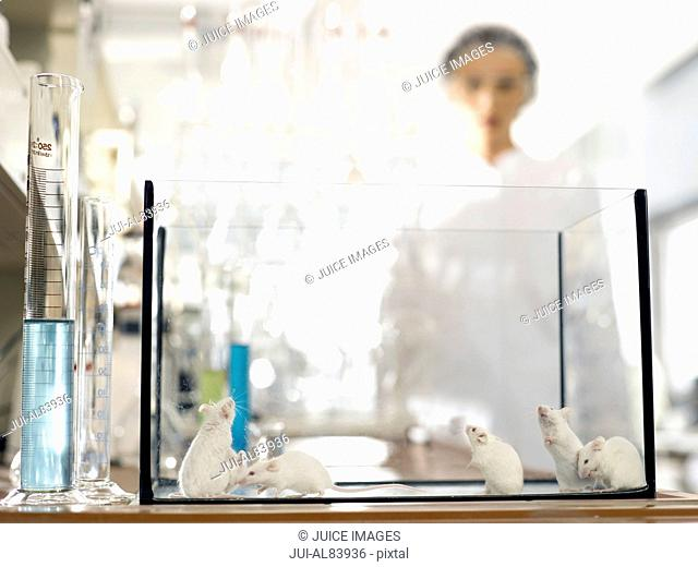 Laboratory mice in glass tank