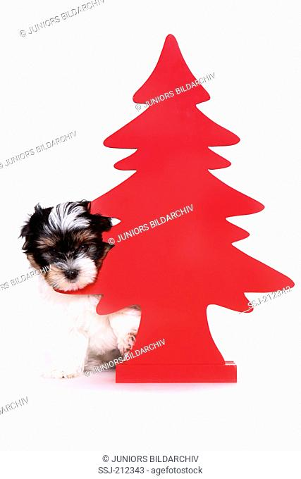 Biewer Terrier. Puppy (8 weeks old) looking out from behind a red Christmas tree. Studio picture against a white background. Germany