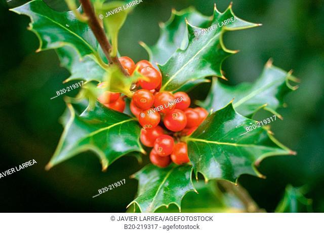 Holly Berries. (Ilex Aquifolium). Selva de Irati. Navarra. Spain