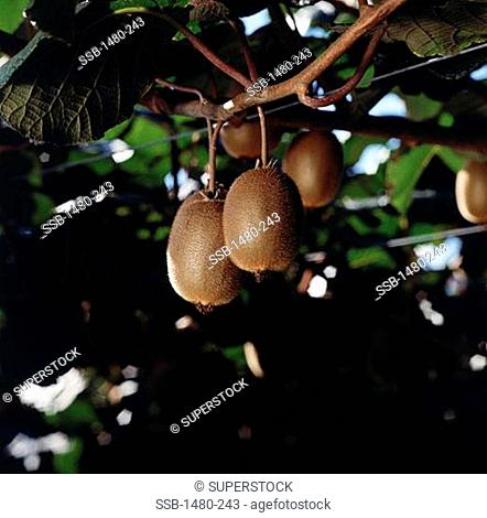 Close-up of kiwis on a branch