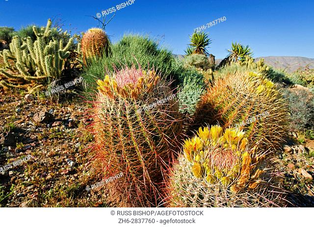 Barrel cactus and cholla in Plum Canyon, Anza-Borrego Desert State Park, California USA