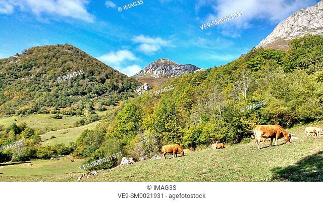 Cattle and mountains in the way from Soto de Sajambre to Vegabaño, Picos de Europa National Park and Biosphere Reserve, León province, Spain