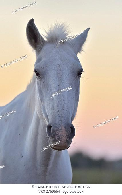 Camargue Horse, Portrait, Saintes-Maries-de-la-Mer, Parc naturel régional de Camargue, Languedoc Roussillon, France