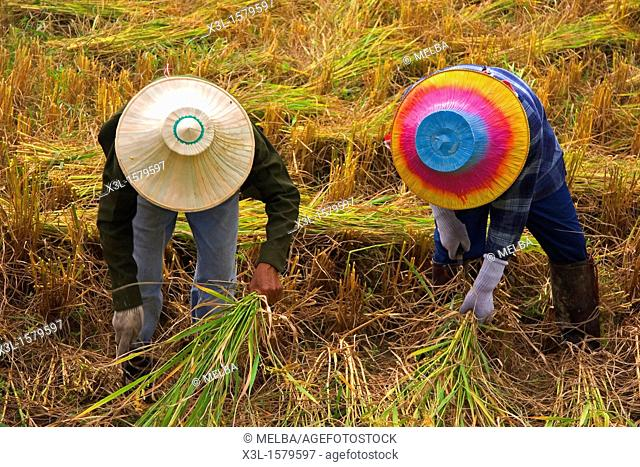 Rice field in Lampang  Chiang Mai  Thailand