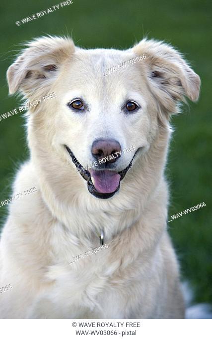 Tan coloured mixed breed dog, Canada, Alberta
