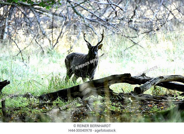 Asian deer, Asian deer, Cervus nippon, deer, deer, Sika, Sikahirsche, Sikahirsche in autumn, summer fur Sikahirsch, animals, game, wild animals