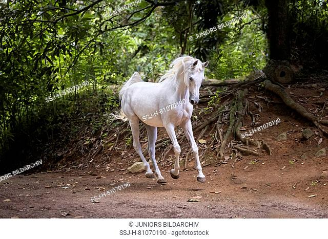Arabian horse. Gray mare galloping in a tropical forest. Seychelles