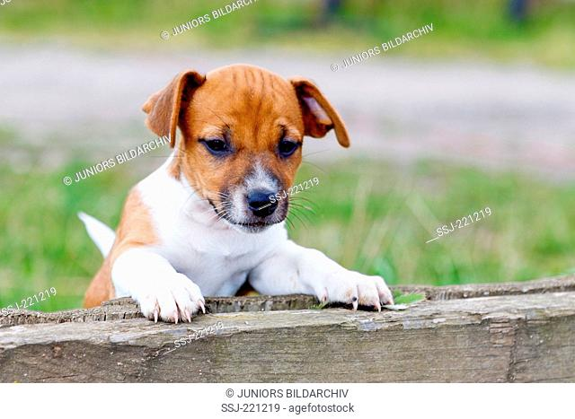Jack Russell Terrier. Puppy looking over a wooden beam. Germany