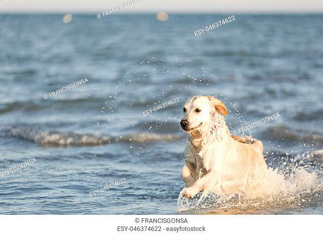Golden retriever running through the sea water towards the shore. Take in Santa Pola, province of Alicante in Spain