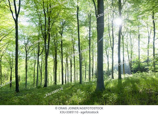 A beech woodland in spring at Rowberrow Warren in the Mendip Hills, Somerset, England
