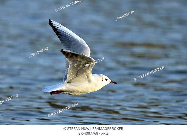 Black-headed gull (Larus ridibundus) flying , Lake Zug, Canton of Zug, Switzerland