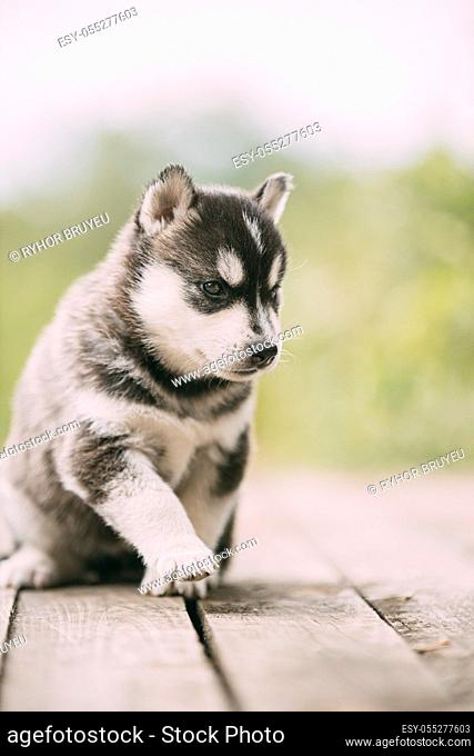 Four-week-old Husky Puppy Of White-gray-black Color Walking On Wooden Ground