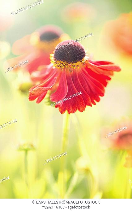 Tranquil summer nature scene, close up of red flower in sunlight