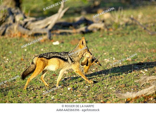 Blackbacked Jackal (Canis mesomelas) carrying an Impala (Aepyceros melampus melampus) head that it will hide and feed on later. Mashatu Game Reserve