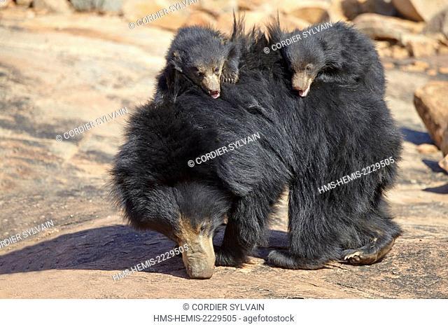 Asia, India, Karnataka, Sandur Mountain Range, Sloth bear (Melursus ursinus), mother with baby, mother carrying babies on the back